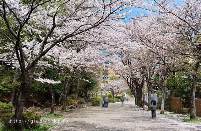 南大沢の桜(2016年)
