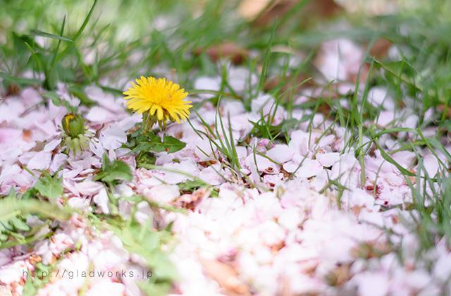 桜の花びらとタンポポ