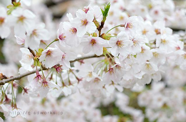 南大沢の桜2017年春