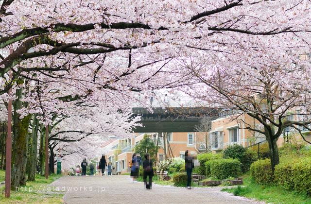 南大沢の桜