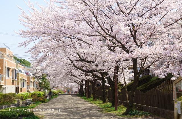 南大沢の桜満開