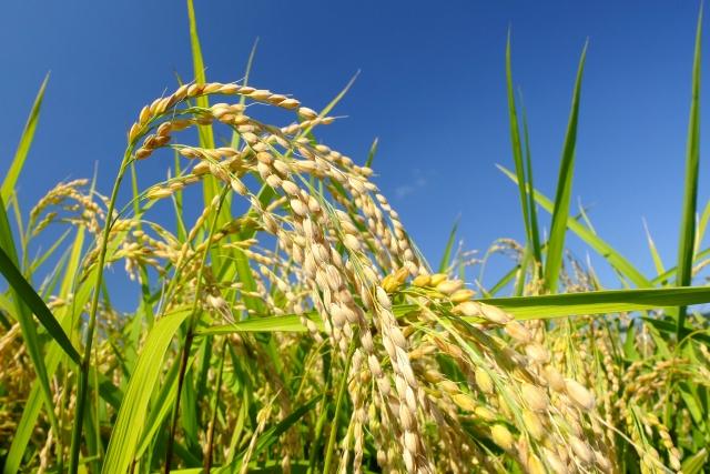 米の収穫イメージ